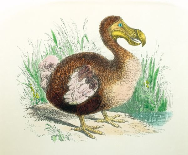 Engraving of a dodo, an extinct, flightless bird, related to the pigeon. The size of a swan, it was heavily-built and clumsy. Two species were known with certainty: the common dodo Raphus cucullatus from Mauritius, which became extinct between 1665 and 1670